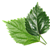 eRacks/LEAF leaves.png
